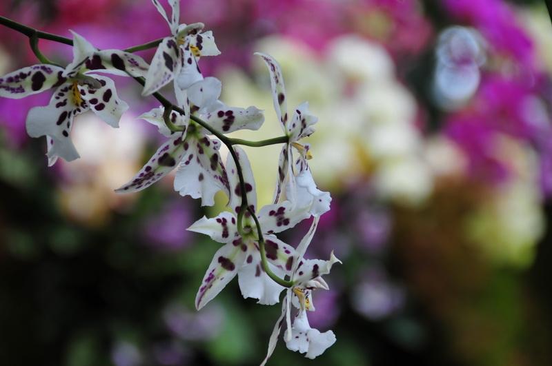 【老谢凭栏】纽约bronx植物园  泰国兰花展_图1-1