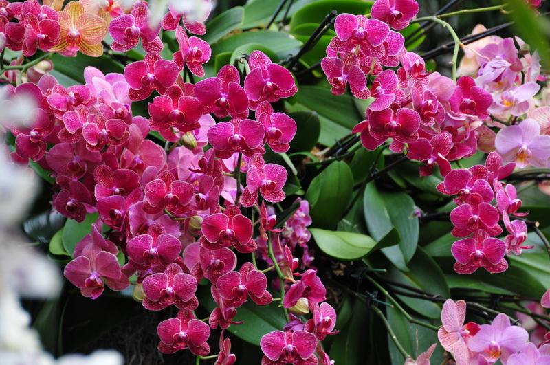 【老谢凭栏】纽约bronx植物园  泰国兰花展_图1-3