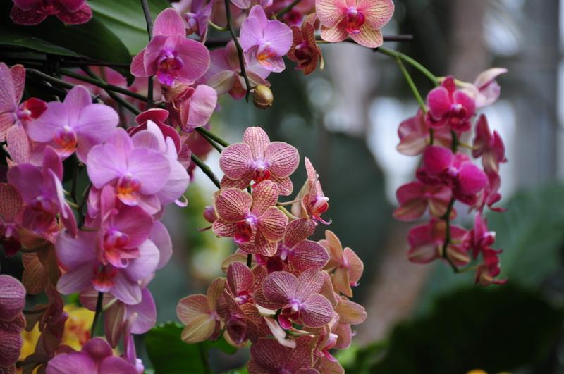 【老谢凭栏】纽约bronx植物园  泰国兰花展_图1-2