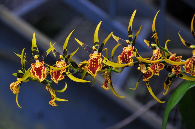 【老谢凭栏】纽约bronx植物园  泰国兰花展_图1-6