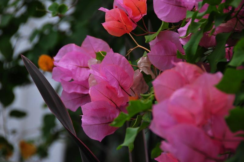 【老谢凭栏】纽约bronx植物园  泰国兰花展_图1-16