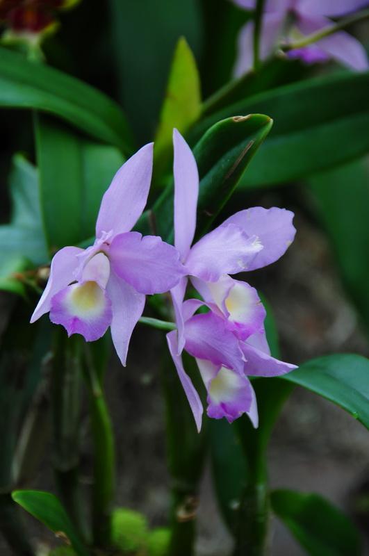 【老谢凭栏】纽约bronx植物园  泰国兰花展_图1-21