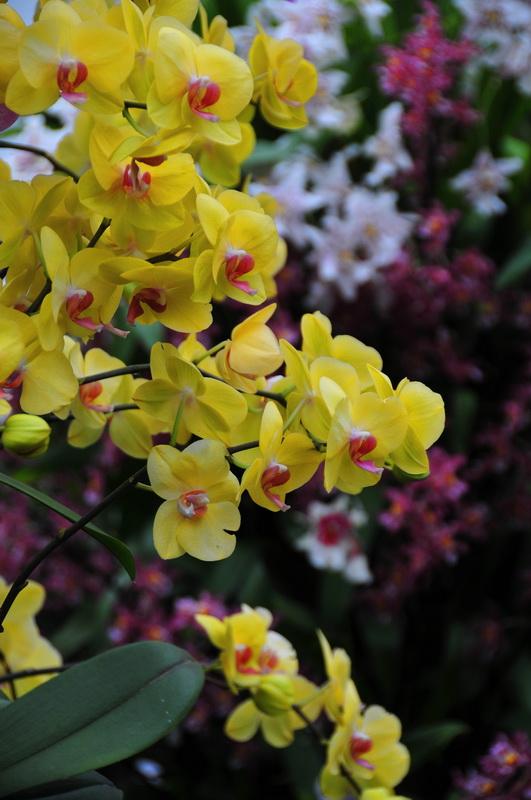 【老谢凭栏】纽约bronx植物园  泰国兰花展_图1-22