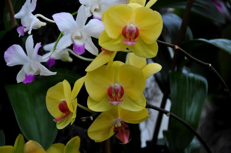 【老谢凭栏】纽约bronx植物园  泰国兰花展_图1-23