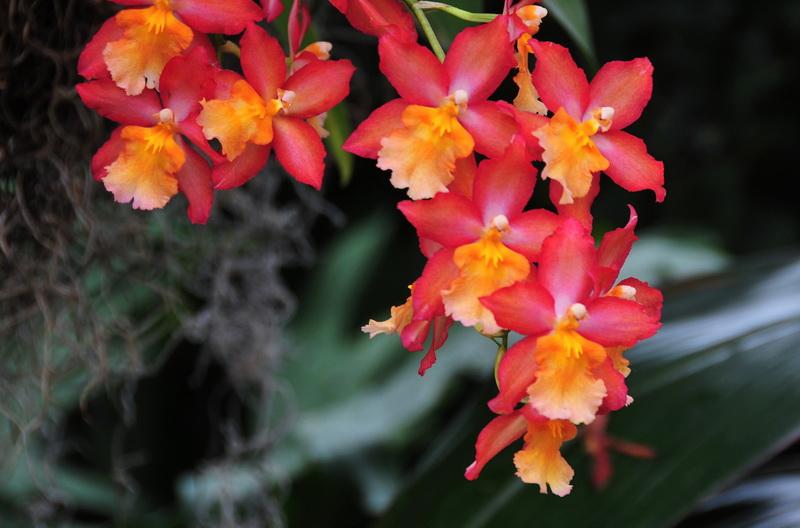 【老谢凭栏】纽约bronx植物园  泰国兰花展_图1-25