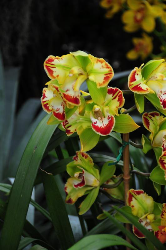 【老谢凭栏】纽约bronx植物园  泰国兰花展_图1-26