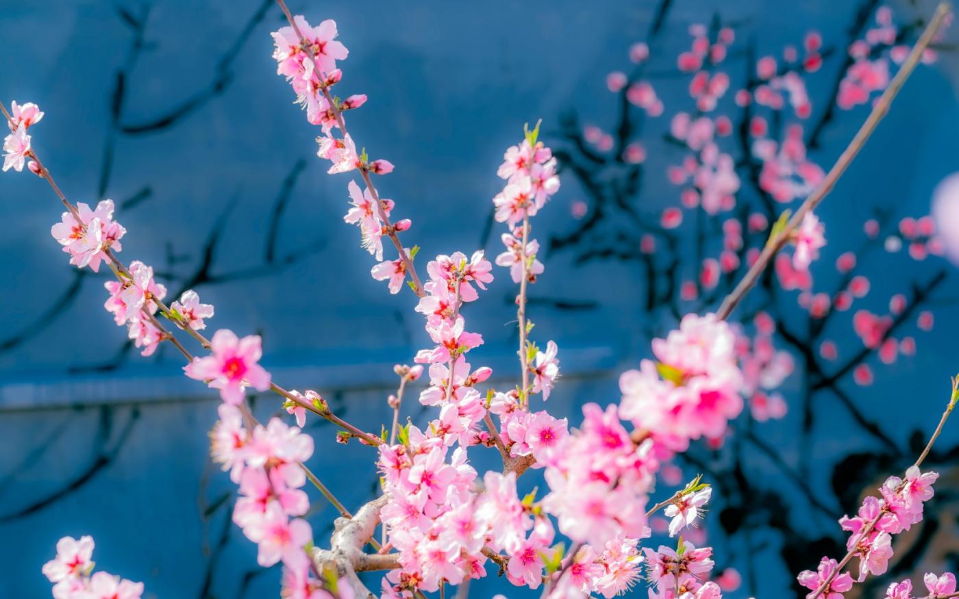 桃花摄影:花非花 画非画 花中有画 画中有花_图1-4