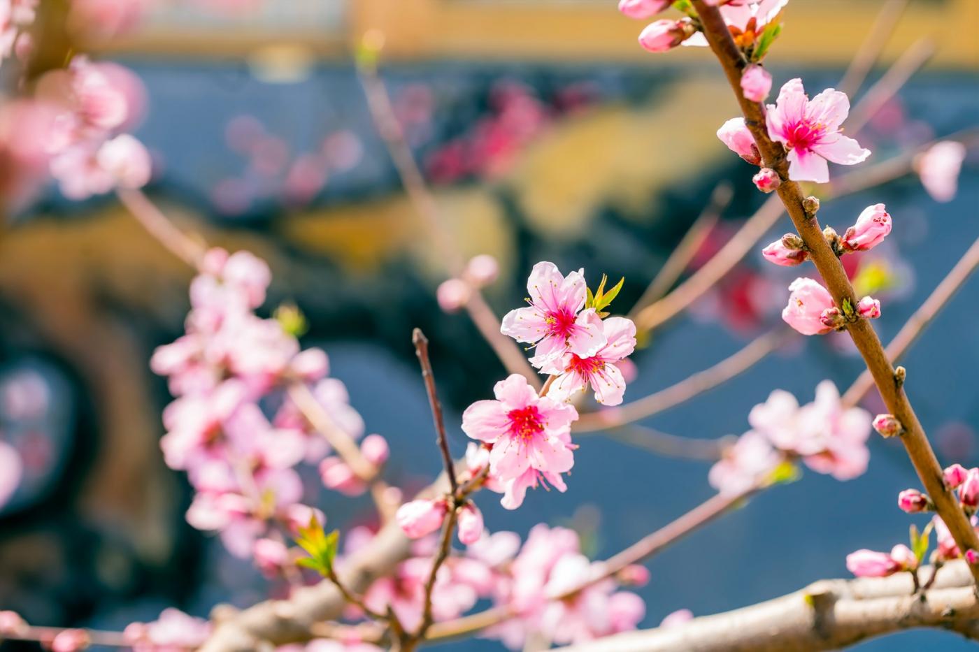 桃花摄影:花非花 画非画 花中有画 画中有花_图1-7