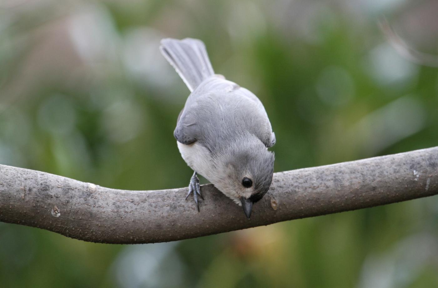 【田螺摄影】春鸟画、灰冠山雀_图1-14