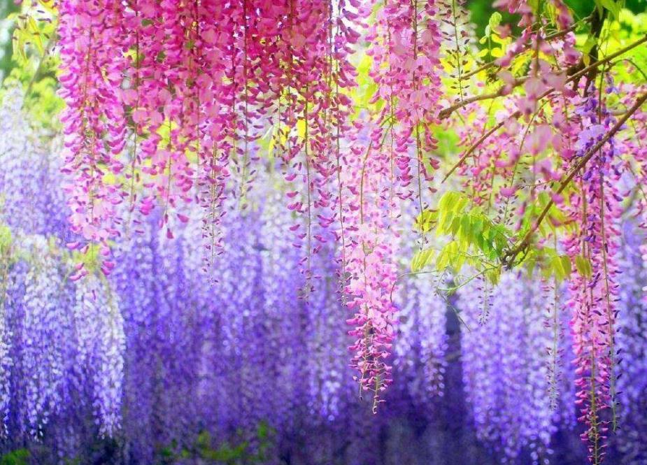 紫藤2_图1-1