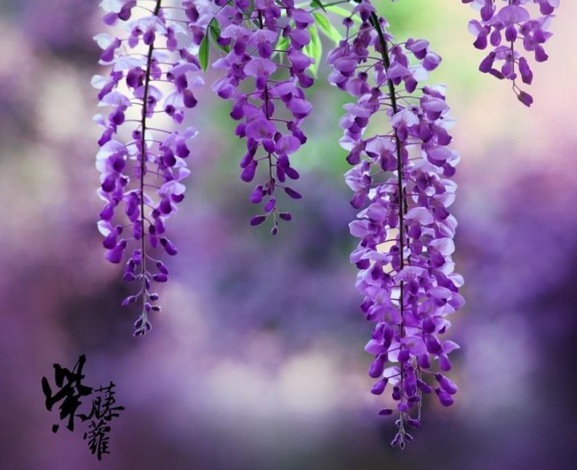紫藤2_图1-2