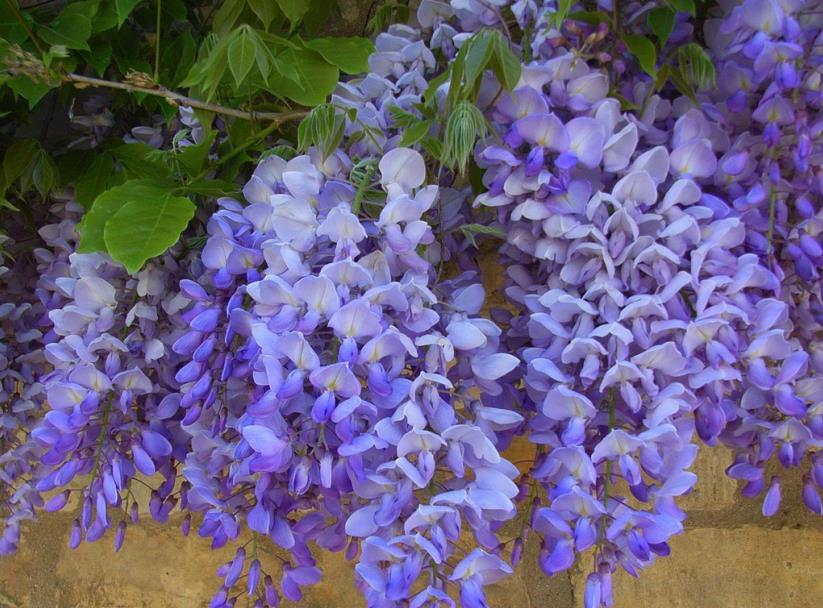 紫藤2_图1-3