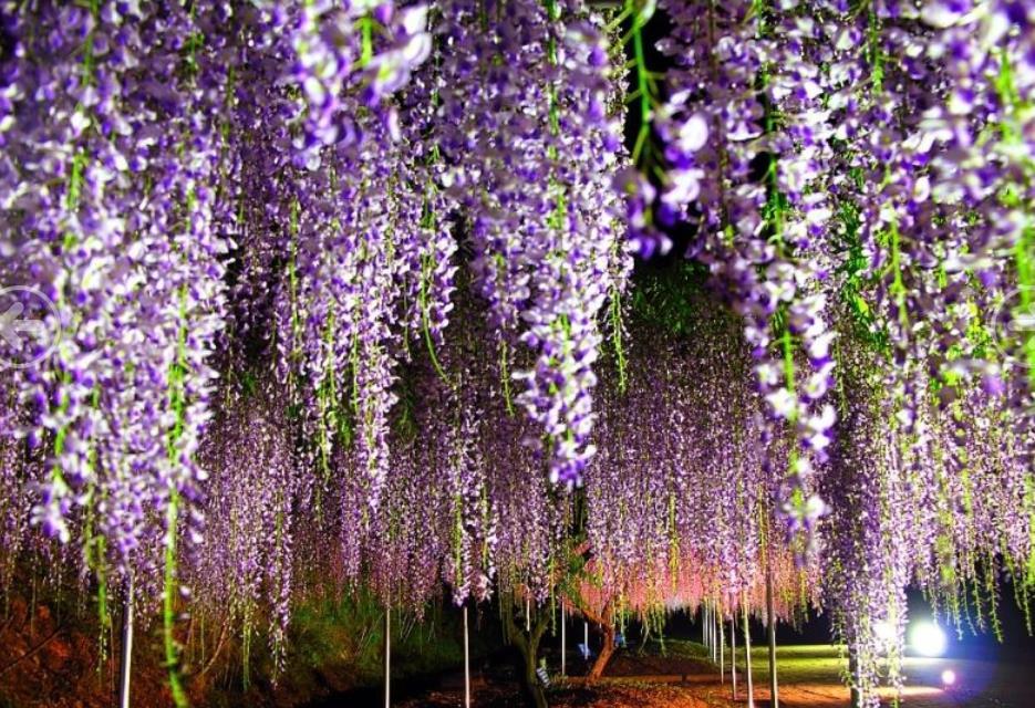 紫藤2_图1-4
