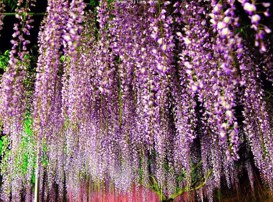 紫藤2_图1-5