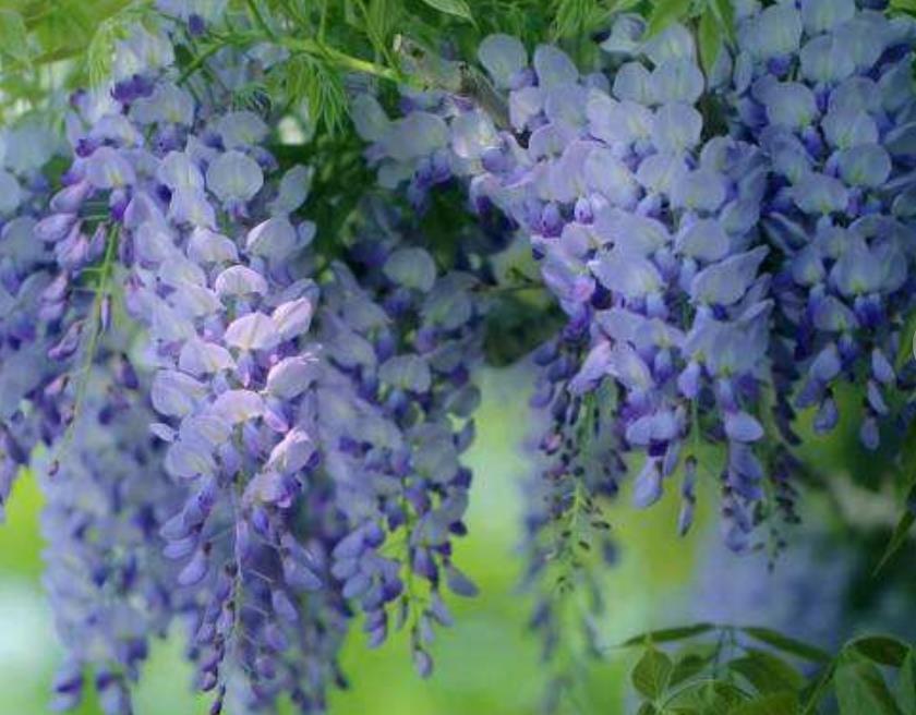 紫藤2_图1-6
