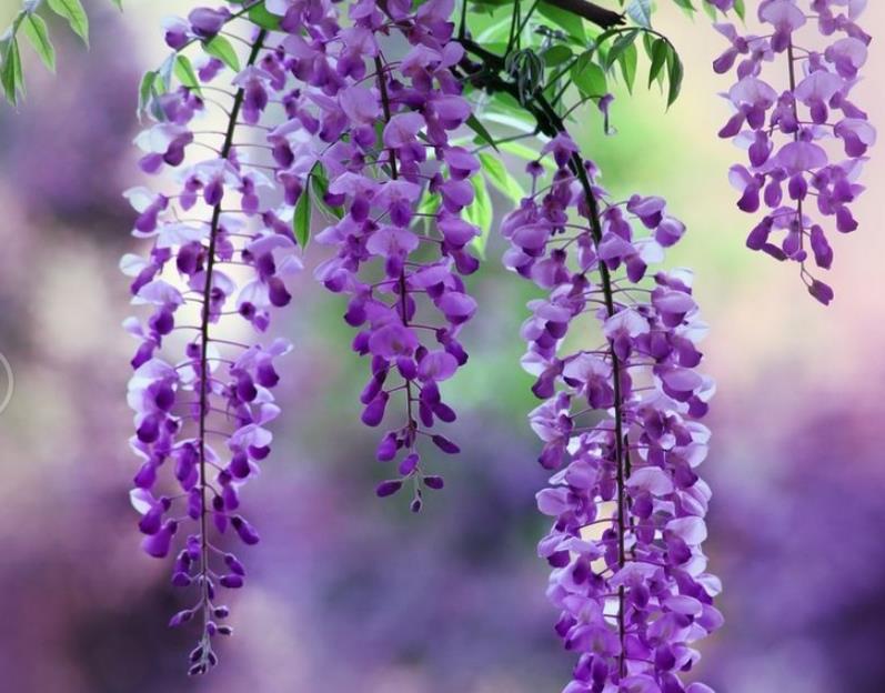 紫藤2_图1-7