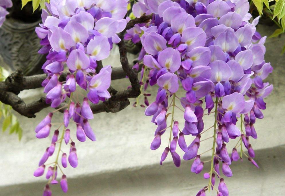 紫藤2_图1-8