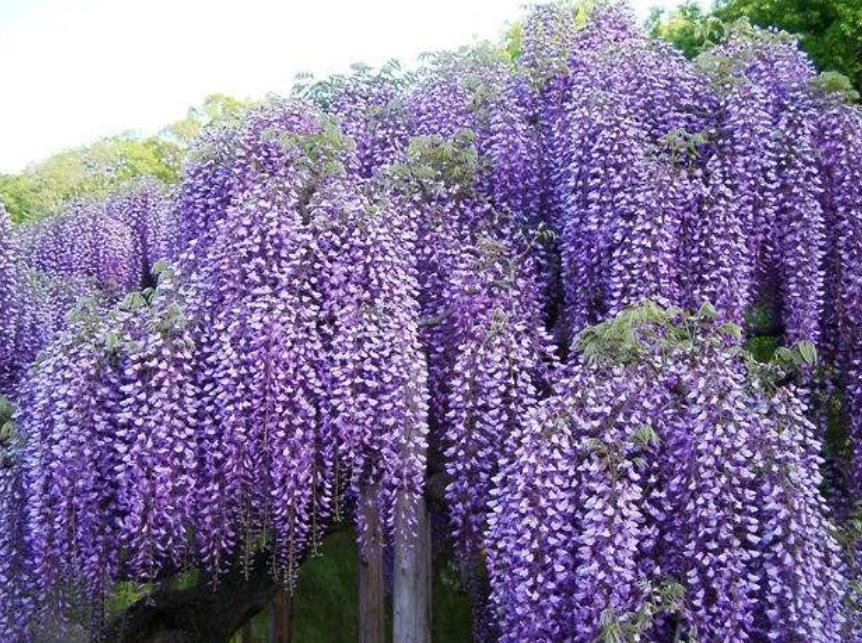 紫藤2_图1-9