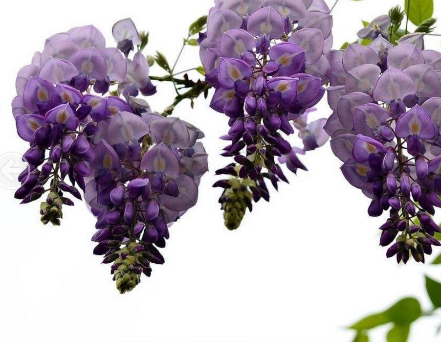 紫藤2_图1-10