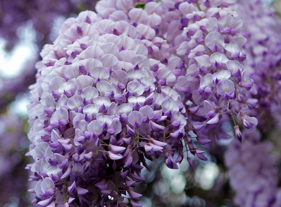 紫藤2_图1-11