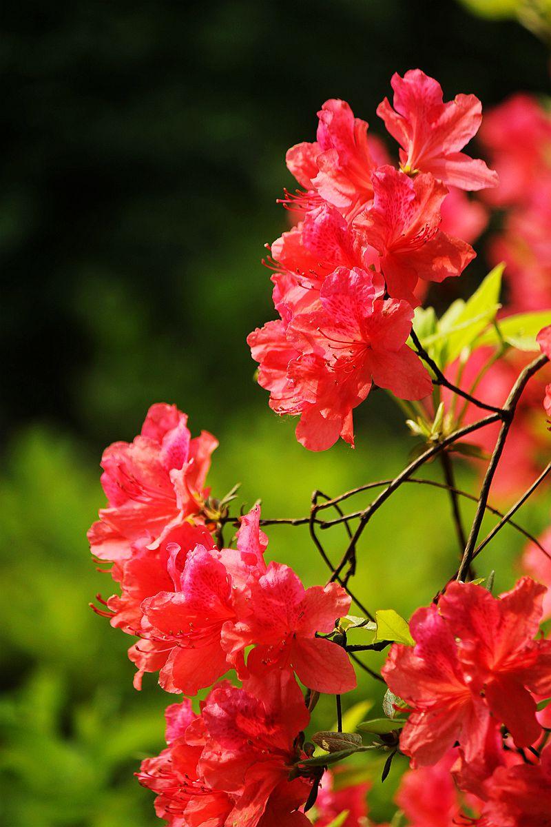 盛开的红杜鹃_图1-2