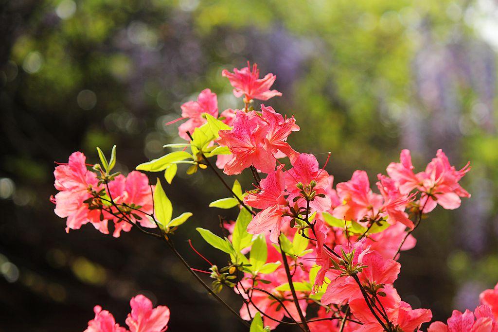 盛开的红杜鹃_图1-6