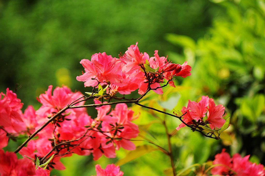 盛开的红杜鹃_图1-7