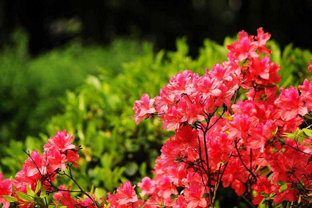 盛开的红杜鹃_图1-9