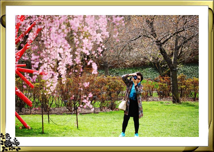 布鲁克林植物园赏樱花絮(2017-4-14)_图1-5