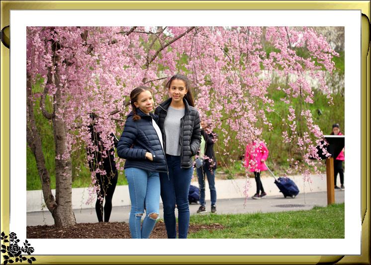 布鲁克林植物园赏樱花絮(2017-4-14)_图1-11