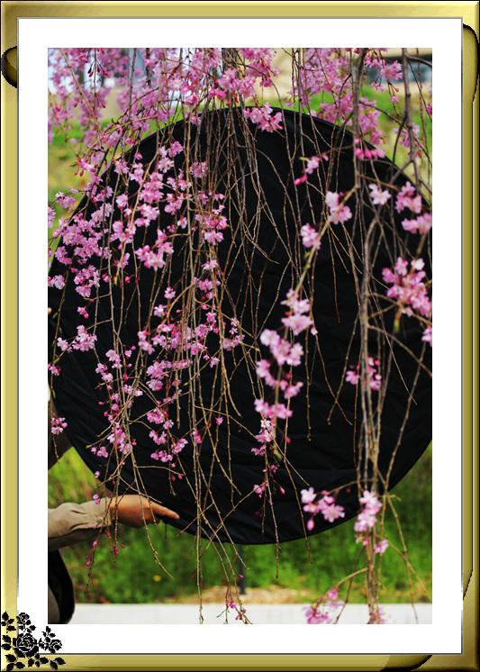 布鲁克林植物园赏樱花絮(2017-4-14)_图1-19