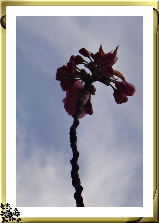 法拉盛市政厅周围的粉红(红色)樱花盛开了_图1-2