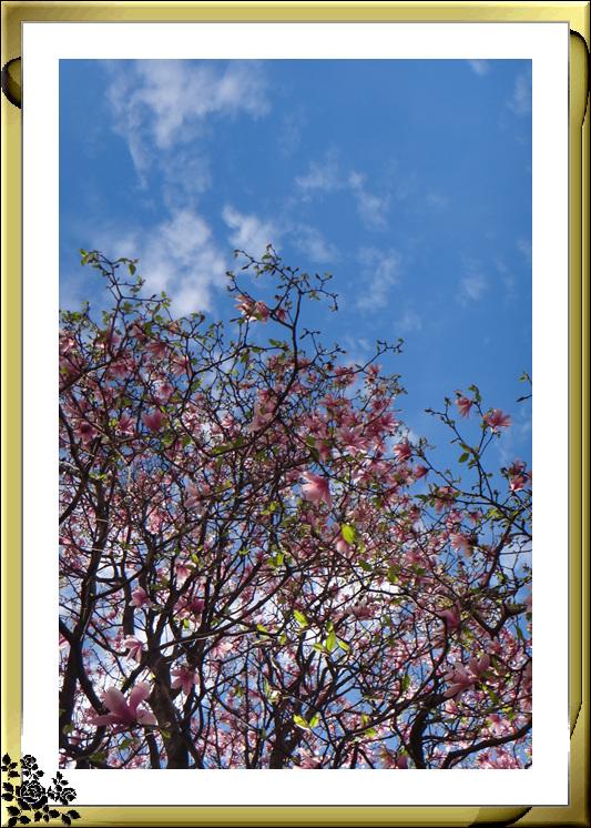 法拉盛市政厅周围的粉红(红色)樱花盛开了_图1-23