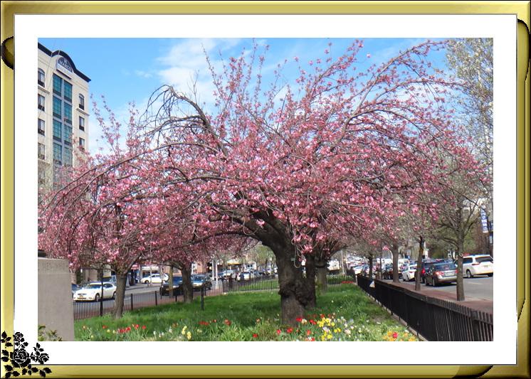 法拉盛市政厅周围的粉红(红色)樱花盛开了_图1-1