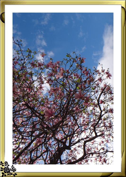 法拉盛市政厅周围的粉红(红色)樱花盛开了_图1-3