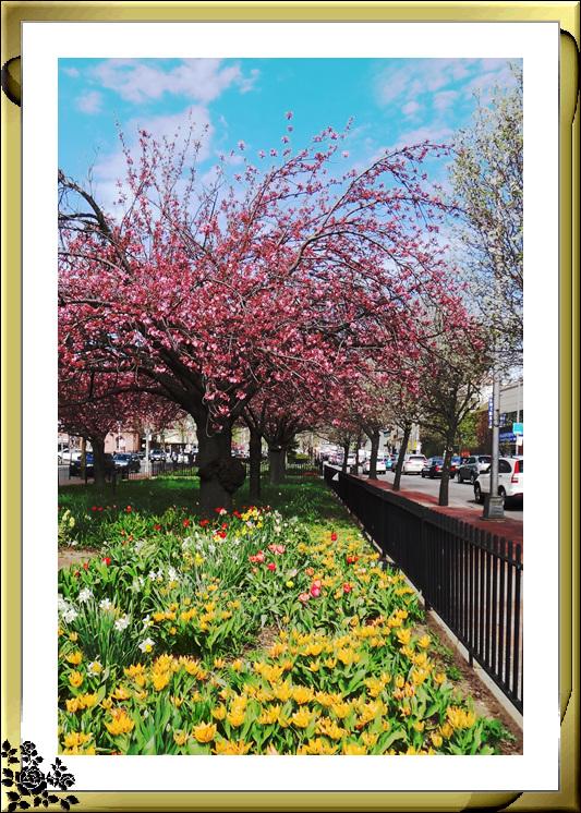 法拉盛市政厅周围的粉红(红色)樱花盛开了_图1-5