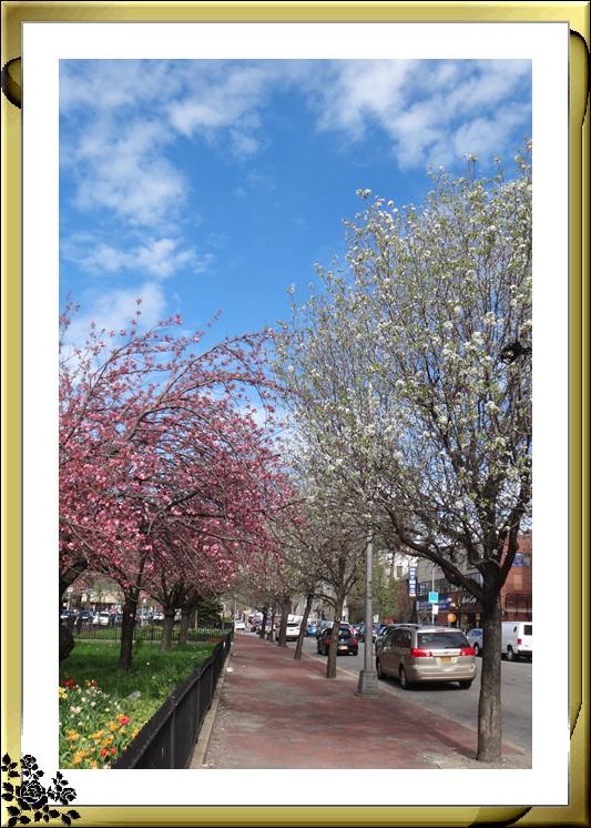 法拉盛市政厅周围的粉红(红色)樱花盛开了_图1-4