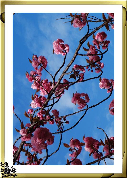 法拉盛市政厅周围的粉红(红色)樱花盛开了_图1-6