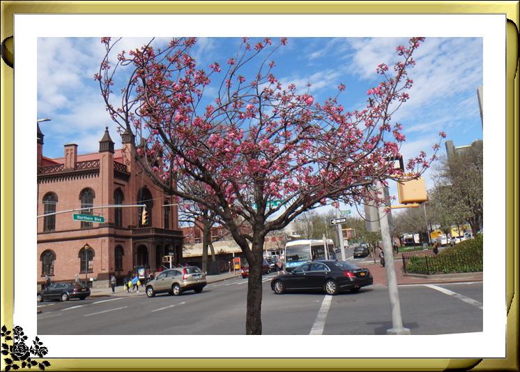 法拉盛市政厅周围的粉红(红色)樱花盛开了_图1-11