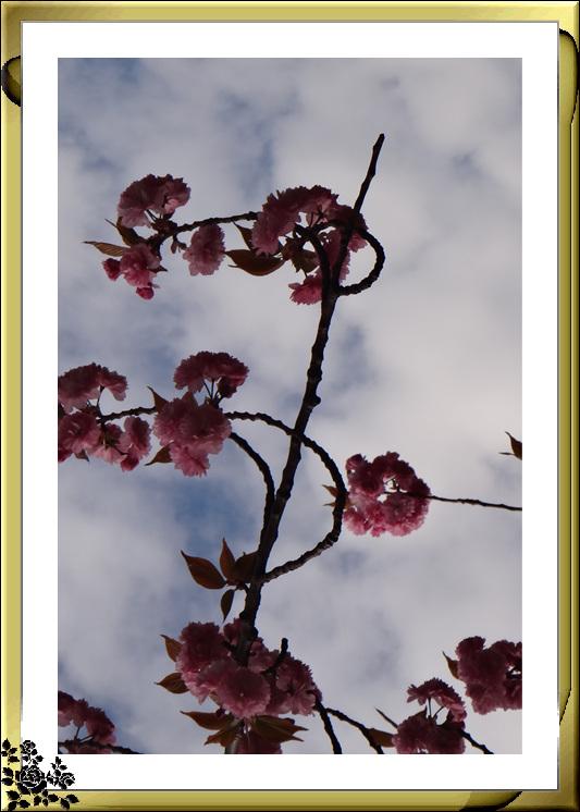 法拉盛市政厅周围的粉红(红色)樱花盛开了_图1-7