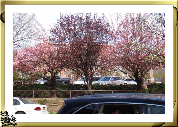 法拉盛市政厅周围的粉红(红色)樱花盛开了_图1-10