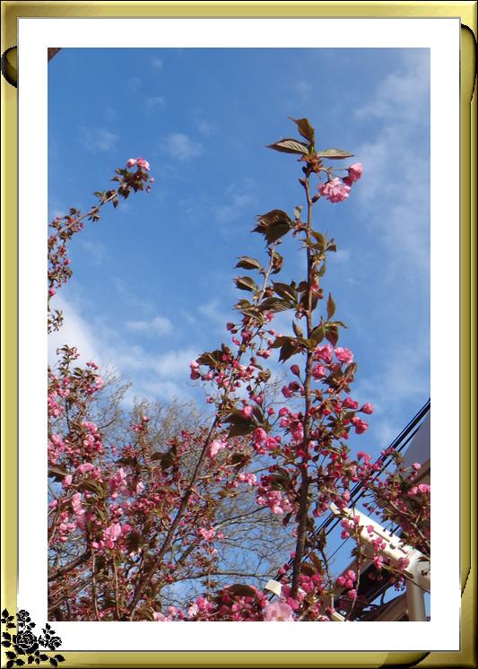 法拉盛市政厅周围的粉红(红色)樱花盛开了_图1-9