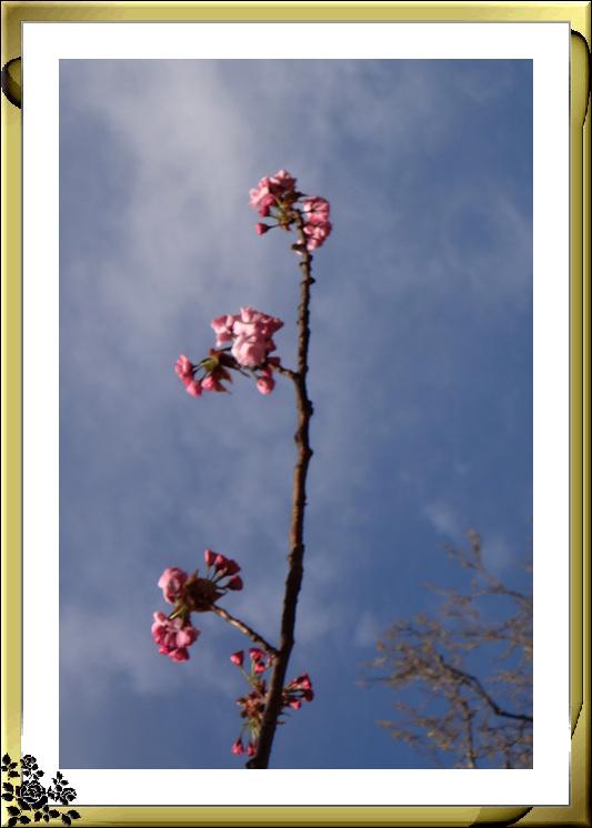 法拉盛市政厅周围的粉红(红色)樱花盛开了_图1-8