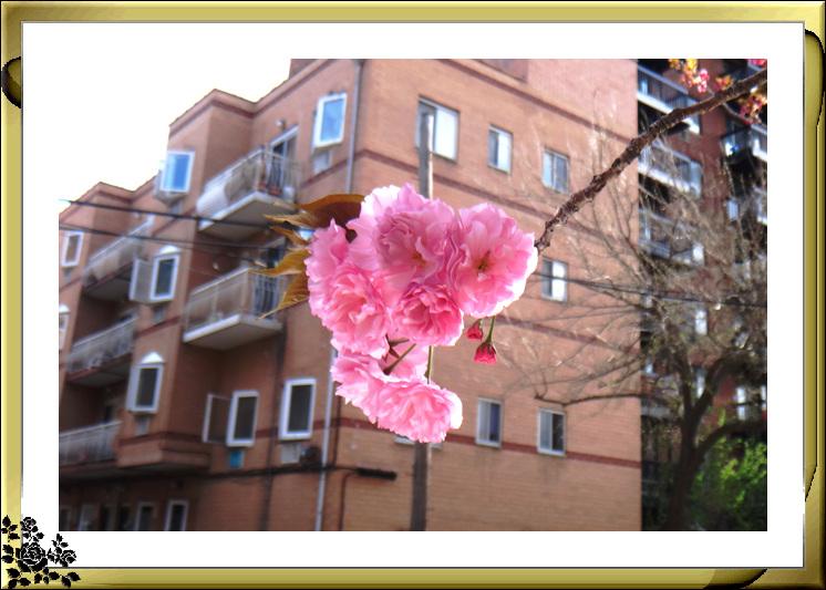 法拉盛市政厅周围的粉红(红色)樱花盛开了_图1-12