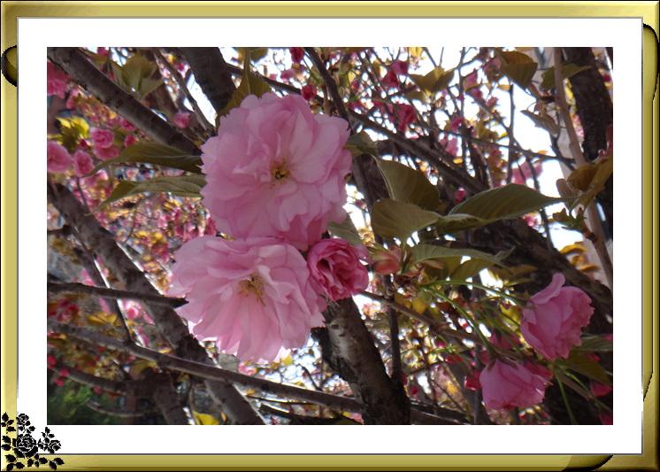 法拉盛市政厅周围的粉红(红色)樱花盛开了_图1-13