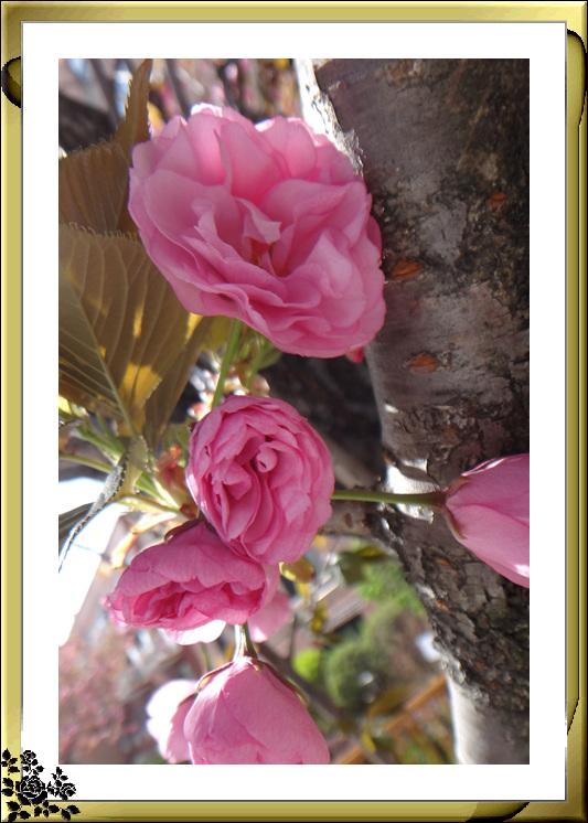 法拉盛市政厅周围的粉红(红色)樱花盛开了_图1-15