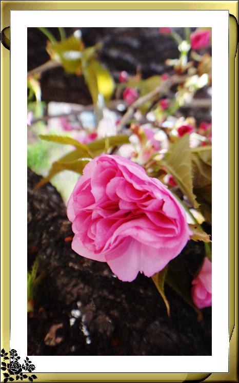 法拉盛市政厅周围的粉红(红色)樱花盛开了_图1-14