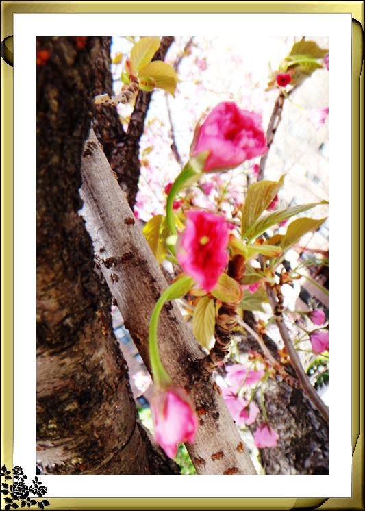 法拉盛市政厅周围的粉红(红色)樱花盛开了_图1-16