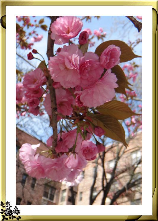 法拉盛市政厅周围的粉红(红色)樱花盛开了_图1-17