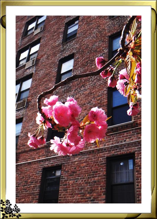 法拉盛市政厅周围的粉红(红色)樱花盛开了_图1-18